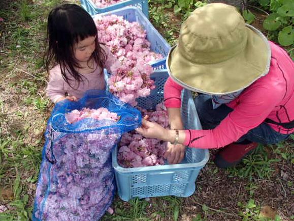 桜の花摘み